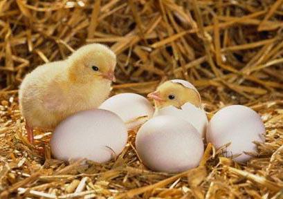 Kỹ thuật ấp trứng gà đạt hiệu quả
